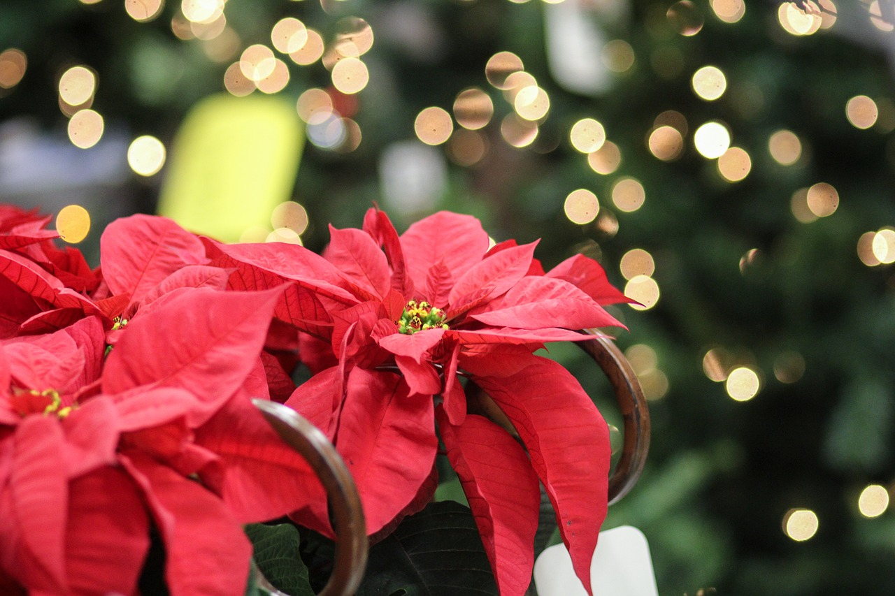 Faxiflora Blog Stella Di Natale Pianta Periodo Natalizio