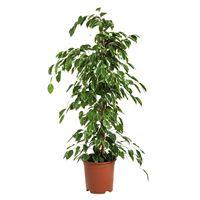 Faxiflora
