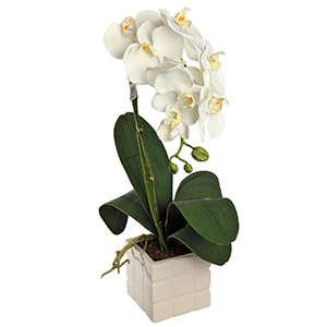 Faxiflora consegna fiori per anniversari for Orchidea pianta